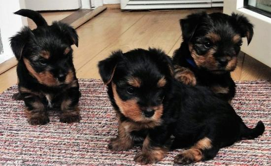 Lindo Machos y hembras disponibles Yorkshire Terrier Regalo