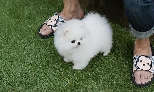 REGALO Pomerania mini toy Para Adopción