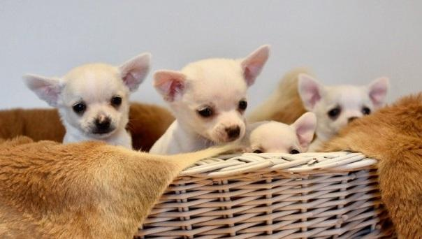 REGALO Hermosa mujer y hombre Chihuahua mini toy