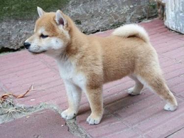 Regalo lindo shiba inu cachorros en adopcion