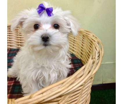 Tenemos 2 cachorros excepcionales de AKC Maltés disponibles