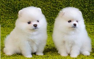 Regalo gratis pomeranian cachorros mini toys