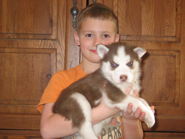 Calidad cachorros de husky siberiano a la venta