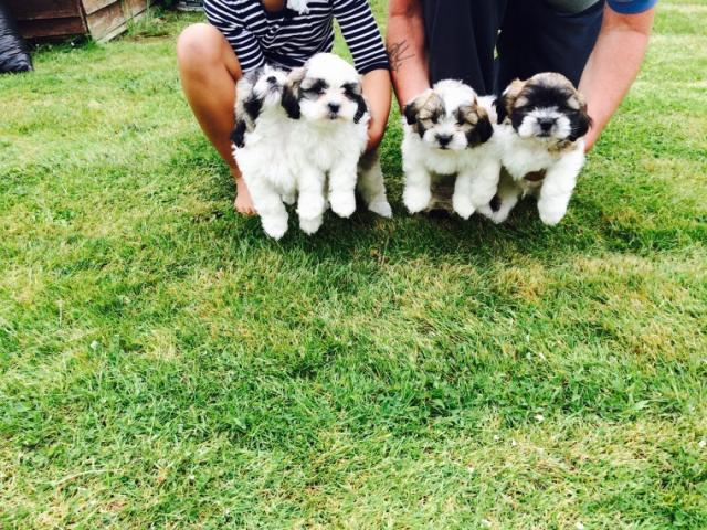 REGALO Shih Tzu Cachorros Para Adopción