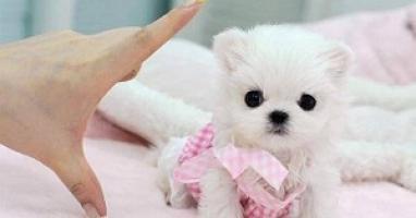Regalo lindo bichon maltes toy cachorros gratis
