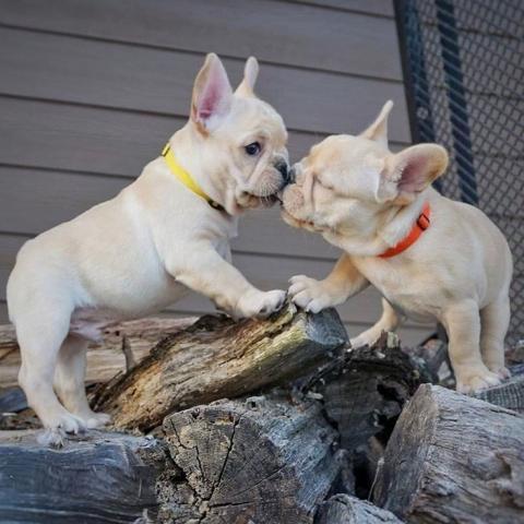 REGALO Bulldog Francés Cachorros Para Adopción