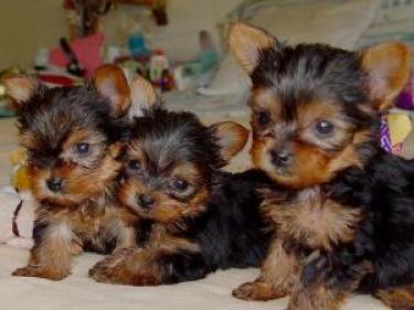 Los cachorros de Yorkshire registrados para la re-homing