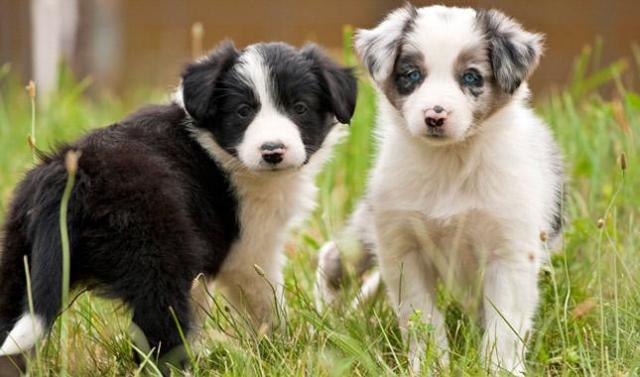 cachorros border collie disponibles