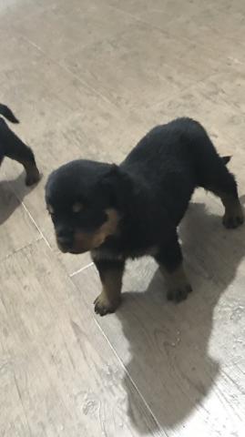 cachorro de rotweiler en venta