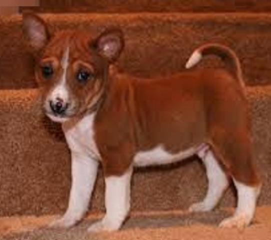 Regalo cachorros Basenji Macho Y hembra