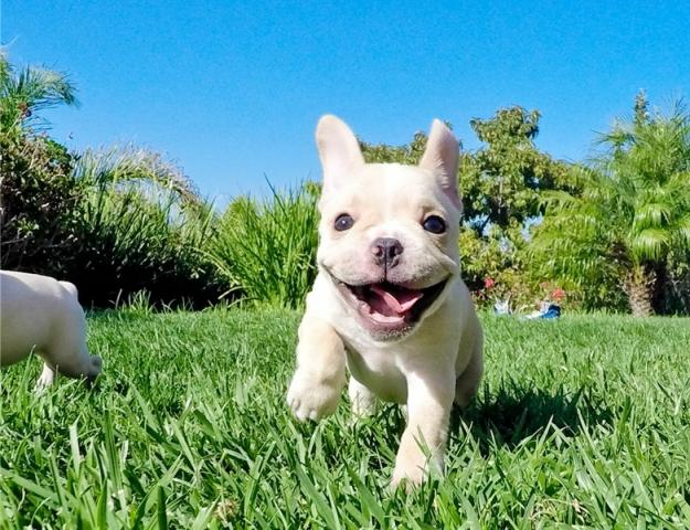 calidad AKC cachorro de Bulldog francés para la adopción libre !