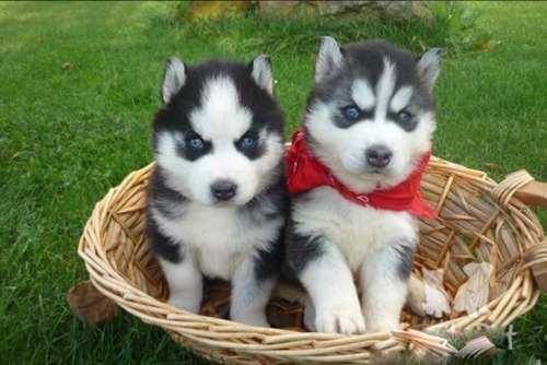 Preciosos cachorros de husky siberiano