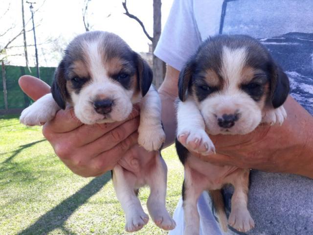 beagle cachorros hembritas y machitos
