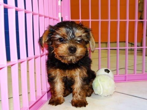 Home planteó cachorros yorkie para adopción