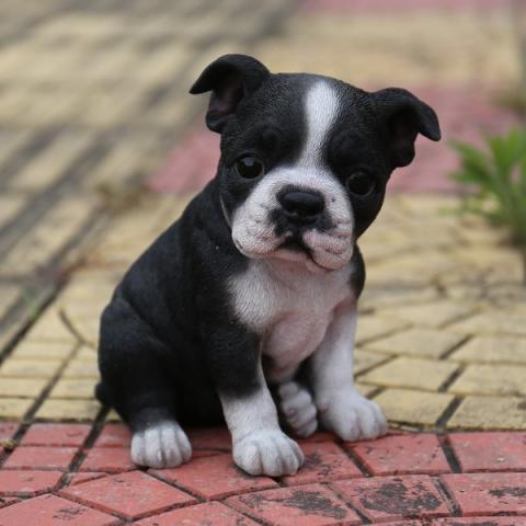 Cachorros Boston terrier para adopción