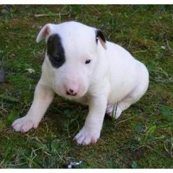 Bull Terrier cachorros en adopción