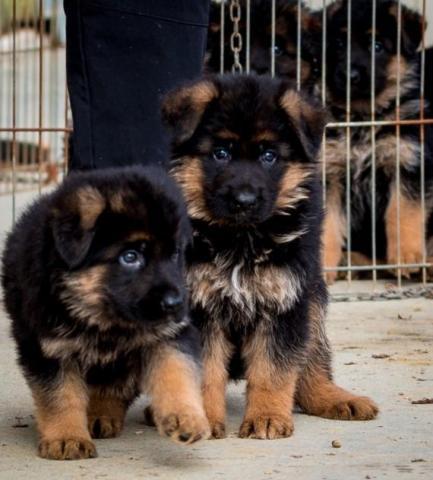 Cachorros de raza pura pastor alemán bien entrenados