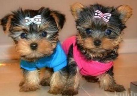 Encantadores cachorros de Yorkshire