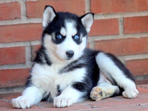 Ojos azules husky siberiano disponible con papeles