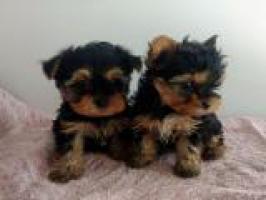 Disponible preciosa camada de cachorritos Yorkshire toy