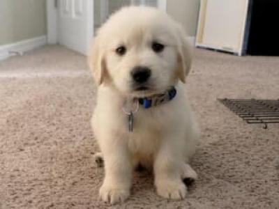 Cachorros Golden Retriever- masculino y femenino