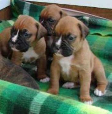 REGALO Espectaculares Boxer cachorros machitos y hembras disponib