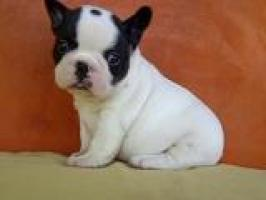 Regalo Cachorros Bulldog frances