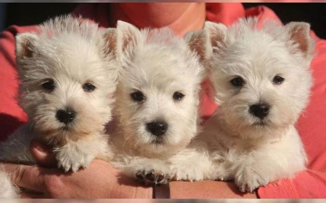 Bonitos cachorros de West Highland terrier