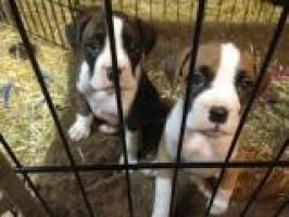 Regalo Cachorros Boxer gratis