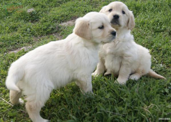 Disponibles camadas GOLDEN RETRIEVER de dos meses