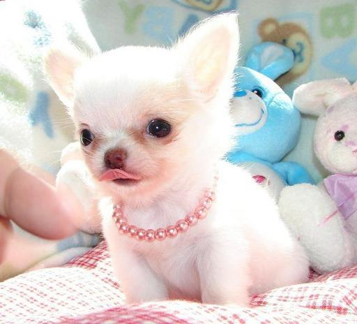 Chihuahua Puppies que necesita un nuevo hogar ahora! los padres s