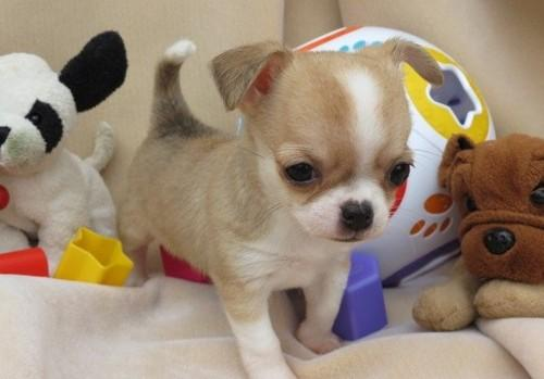 Cachorros de Chihuahua hombres y mujeres taza de té para Navidad