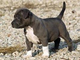 nariz azul Pupbull Puppies -12 semanas de edad