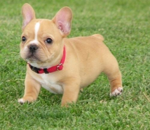 Regalo super bulldog frances cachorros muy bonito