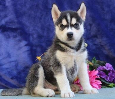 encantadores cachorros de husky siberiano gratis