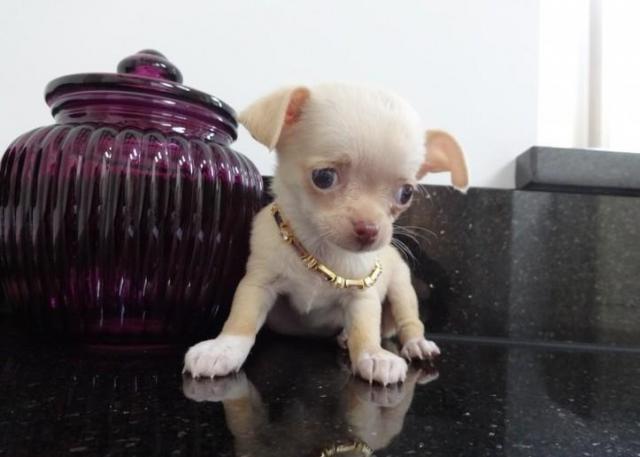 Casa tren Chihuahua mini juguete Adopción