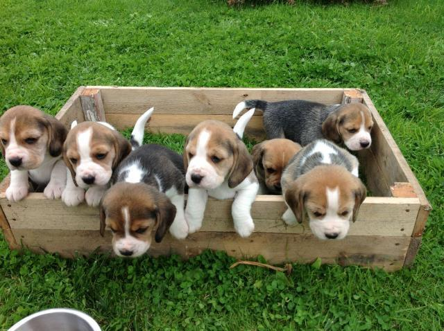 precioso cachorro macho de beagle. Excelente pedigrí
