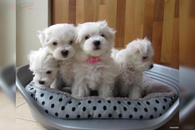 Dos cachorros maltés saludables taza de té