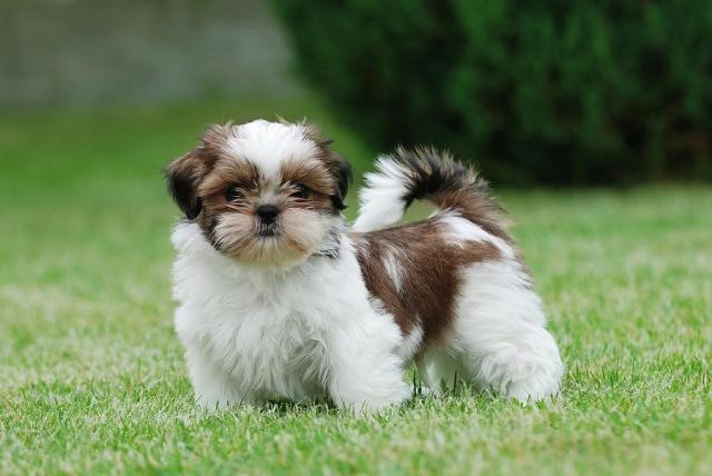Lindo Cachorros Shih Tzu