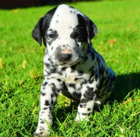 Lindo Cachorros Dalmatian