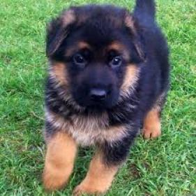 Lindo Cachorros German Shepherd
