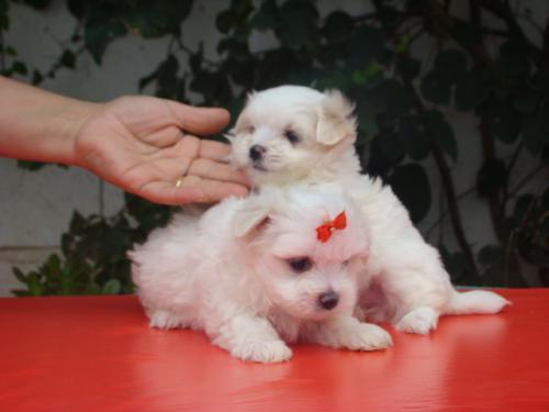 Regalo Cachorros Bichon Maltes