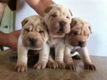 Cachorros Shar-Pei chinos