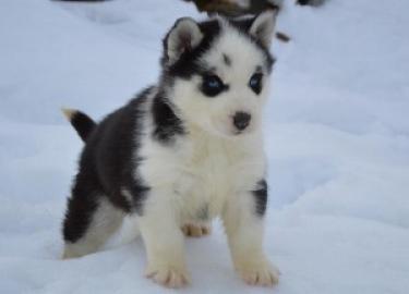 preciosos cachorros de husky siberiano en venta