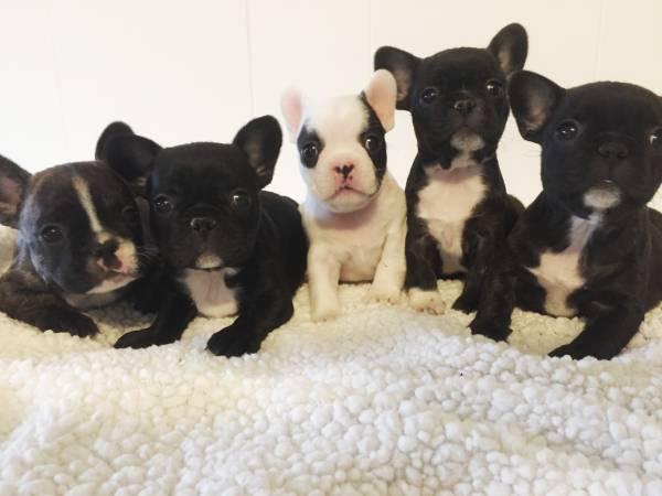 Dos hermosos cachorros de bulldog francés