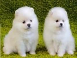 REGALO Cachorros Pomerania 12 semanas a muy buen precio