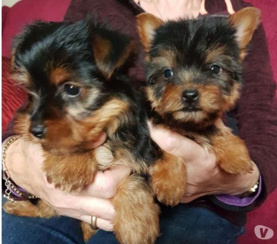 regalo Preciosos cachorritos de Yorkshire de tamaño Toy