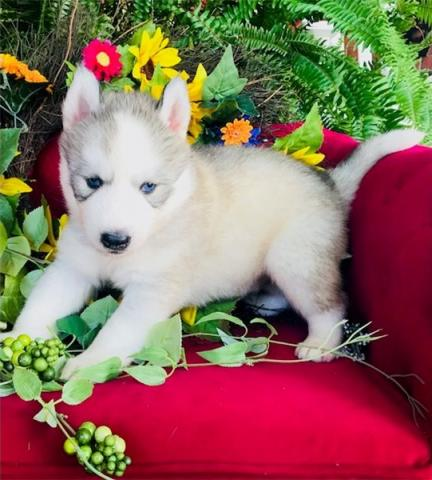 REGALO HUSKY SIBERIANOS Para La Re-homing