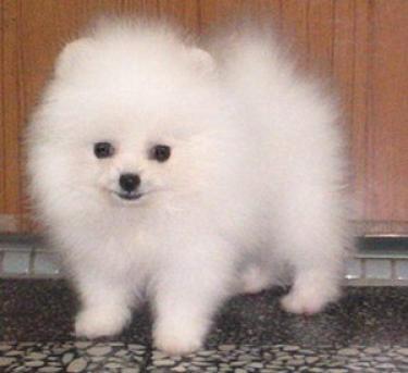Regalo macho y hembra Pomeranian cachorros