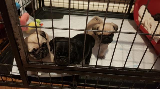 Regalo Cachorros Pug Carlino Macho y Hembra Para Su Adopción